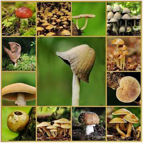 magic-mushrooms-types-pictures